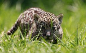 jaguar-caribe
