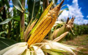 Grupos ambientalistas piden a AMLO dejar de usar glifosato porque envenena los cultivos