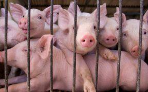 Alertan en Centroamérica y México por brote de peste porcina africana