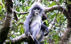 Científicos descubren en Myanmar nueva especie de monos en peligro de extinción