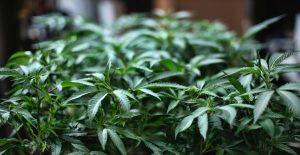 ONU saca al cannabis de la lista de drogas nocivas