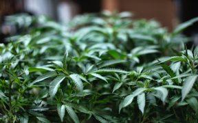 Suprema Corte otorga a Congreso nuevo plazo para regular cannabis