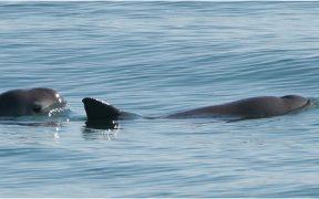 """""""Gobierno federal destruye todo en torno a la protección de la vaquita marina""""; pescadores critican falta de soluciones para el Alto Golfo"""