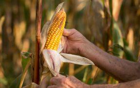 En primer trimestre, México importa récord de 4.2 millones de toneladas de maíz