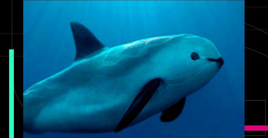 """""""Vaquita marina al borde crítico de la extinción""""; estiman que sólo hay 10 ejemplares"""