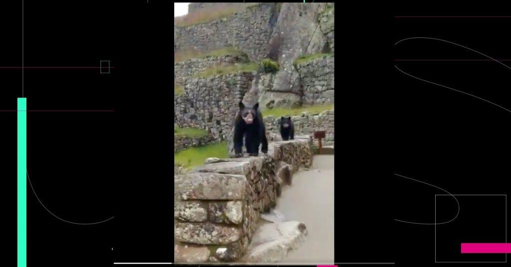 Machu Picchu recibe una visita inesperada; dos osos de anteojos pasearon por la zona sagrada