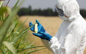 Juez rechaza intento de industria por detener prohibición a maíz transgénico y glifosato