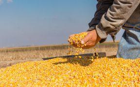 Por sequía, México paga 74% más por importación de maíz