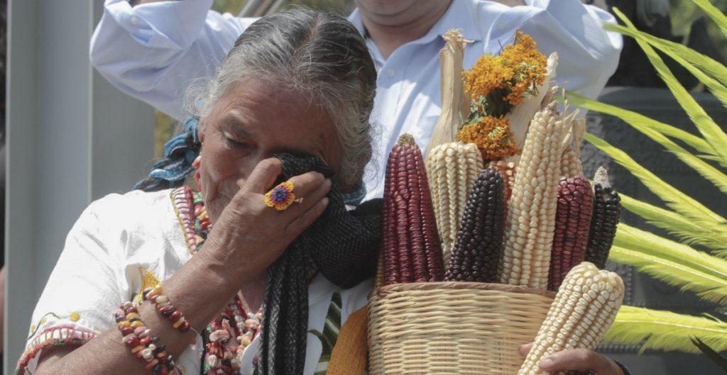 Corte determina que suspensión contra siembra de maíz transgénico sigue vigente